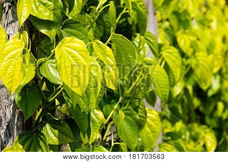 Betel Leaves At Agriculture Plantation