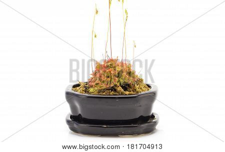 Drosera Tokaiensis Carnivorous Plant Insect on white background