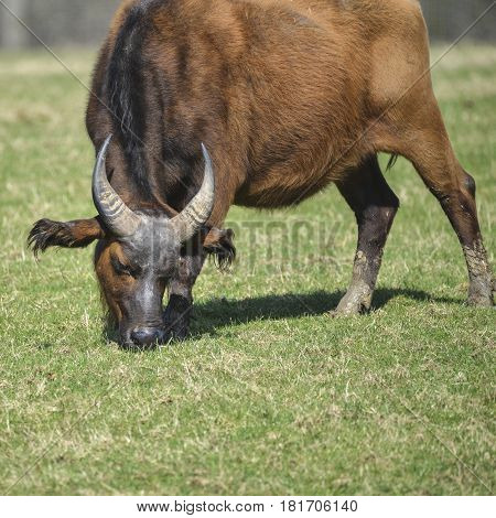 Large Forest Buffalo Syncerus Caffer Nanus Grazing On Grass In Sunlight