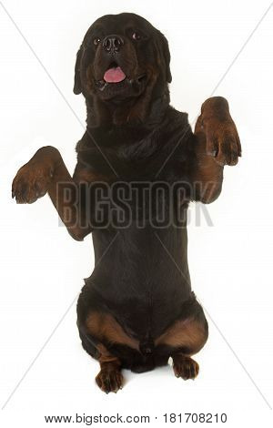 rottweiler standing up in front of white background
