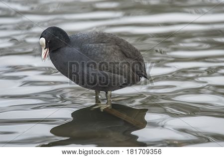 A Coot, Fulica, Standing In A Loch, Squawking