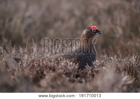 Red Grouse, Lagopus lagopus scotica, on Scottish moorland