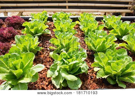 Close up of fresh lettuce plants background
