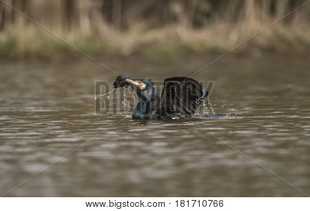 Cormorant On A Pond Displaying, Close Up
