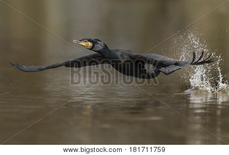 Cormorant Flying From A Pond, Close Up