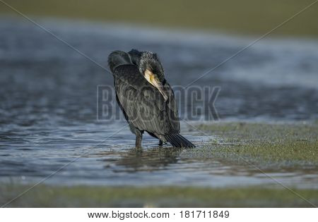 Cormorant Sitting On A Flooded Field, Preening Itself, Close Up