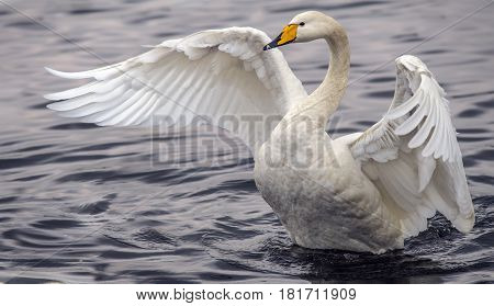 Whooper Swan Displaying On A Loch, Close Up