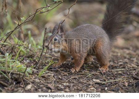 Red Squirrel, Sciurus Vulgaris, On On The Ground Smelling A Twig