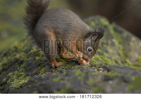 Red Squirrel, Sciurus Vulgaris, On A Tree Trunk Smelling A Nut
