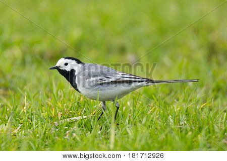 The picture shows a wagtail on the grass