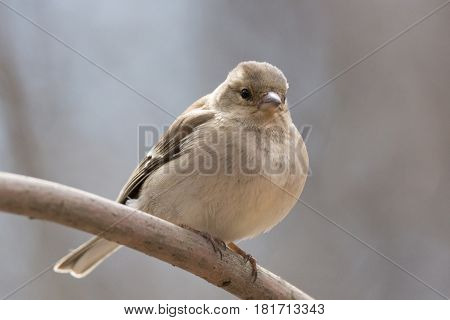 The picture shows a chaffinch on a branch