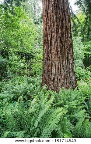 Ferns Around A Redwood Tree in Forest