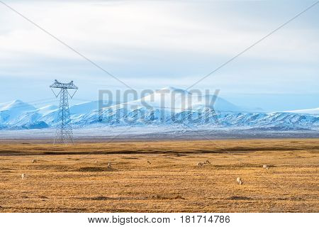 snow mountains landscape with the tibetan antelope on cold steppe in tibet plateau