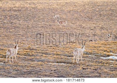 china tibetan antelope on cold steppe in tibet plateau