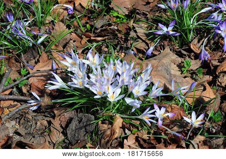 Wild forest spring flowers purple crocus flowers. Saffron in the garden. Purple crocus sativus Saffron growing in the garden