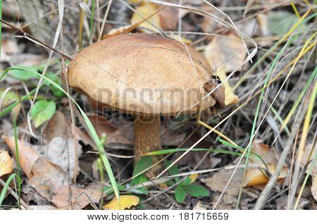 Gathering mushrooms. Mushroom hunting. Gathering Wild Mushrooms. Brown cap boletus - Leccinum scabrum.