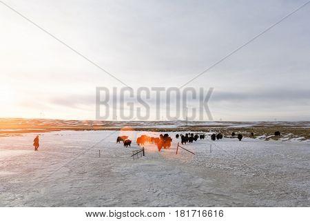 tibetan yak on snow area plateau in sunset