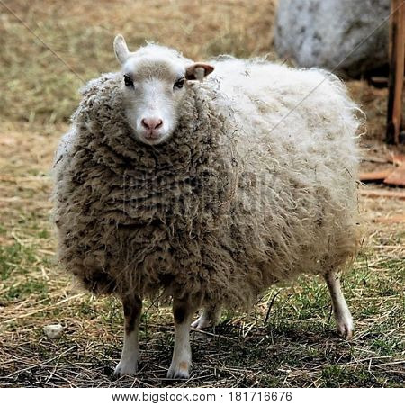 Sheep with a full coat of fur just prior to shearing