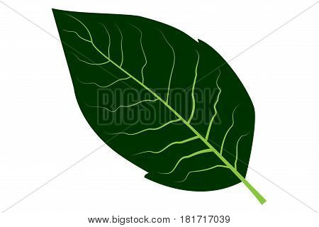 tobacco leaf vector illustration , tobacco leaf