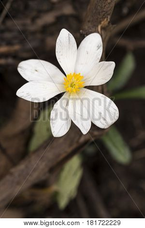 A single white wildflower in the spring.