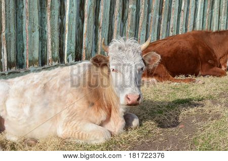 Cows Rest In The Afternoon At The Fence In The Village