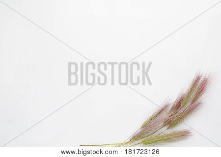 White Background With Empty Place For Inscription  On A White Sheet With Wheat Ears