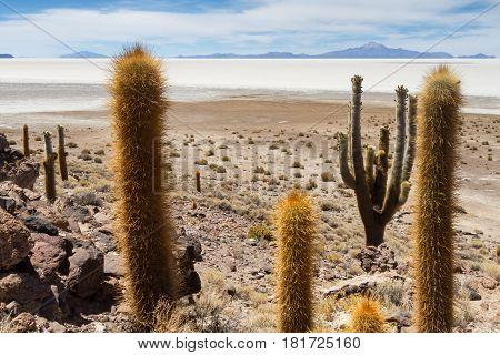 Huge catus at Isla Pia Pia Salar de Uyuni Altiplano Bolivia