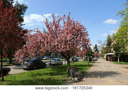 Pink Sakura Trees On The Street Of Uzhgorod, Ukraine