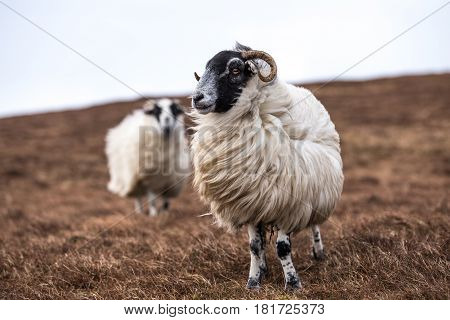 two sheep in scotland during a windy day
