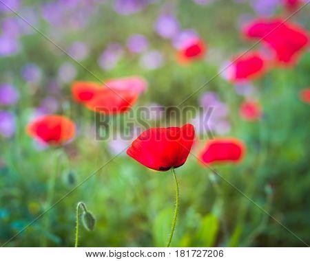 Red Corn Poppy In A Wildflower Field