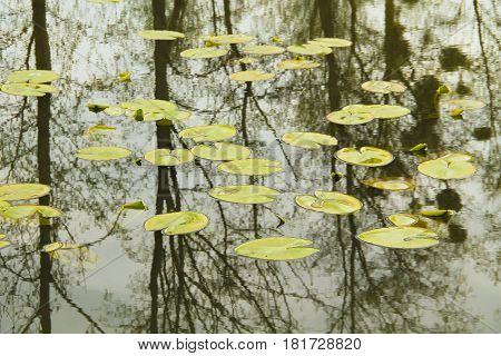 leaves of water lilly on the clean water surface