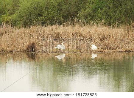 two white swans in the reed on the bank of a pond