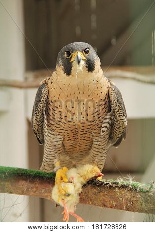 peregrine falcon (Falco peregrinus) with dead chicken in animal rescue station, Bartosovice, Czech Republic