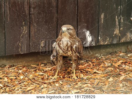 common buzzard (Buteo buteo) with injured wing in animal rescue station, Bartosovice, Czech Republic