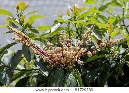 Flowering fruit tree mango Indian (Lat.- Mangifera indica)