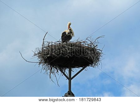 white stork on the huge nest cleaning its feathers with its beak