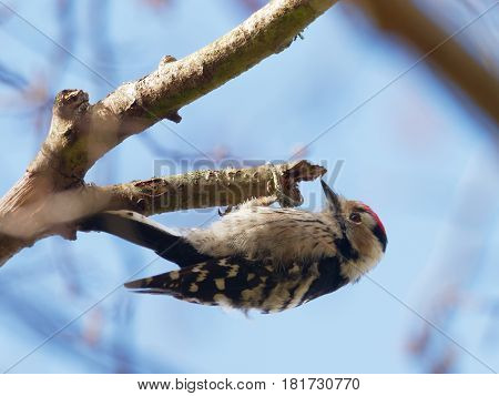 Lesser spotted woodpecker hanging from a branch