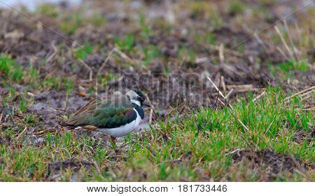 Male lapwing(Vanellus vanellus) closeup in spring Podlasie Poland Europe