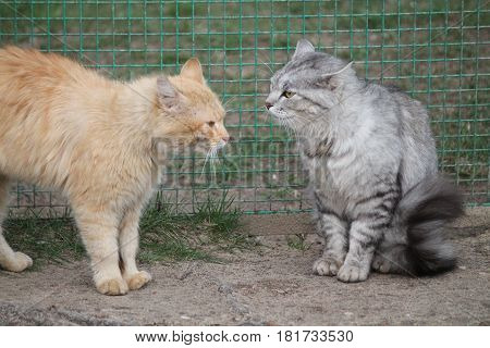 two angry cats prepare to battle ginger attack gray wait to answer