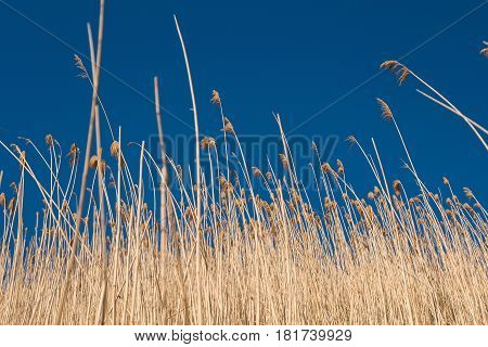Yellow reeds against a blue sky outdoor.