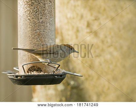Female small bird warbler Blackcap on garden feeder distinctive russet cap showing.