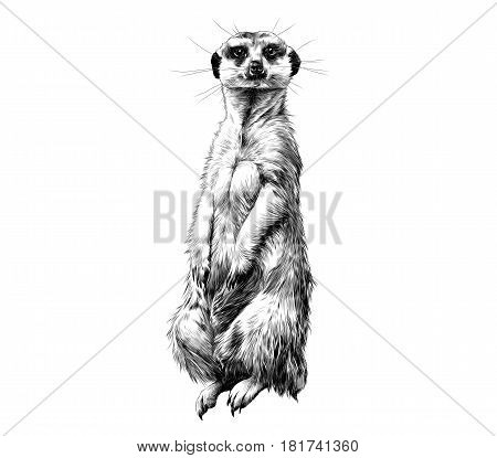 meerkat standing on its hind legs and looking forward sketch vector graphics black and white drawing