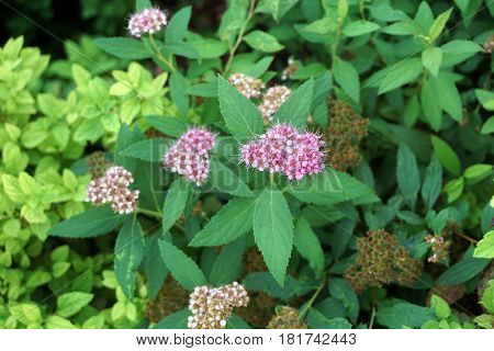 Flowers of a Japanese spiraea (Spiraea japonica) plant bloom in a flower garden in Joliet, Illinois during July.