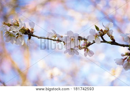 A close-up of cherry blossoms in Holmdel Park in New Jersey.