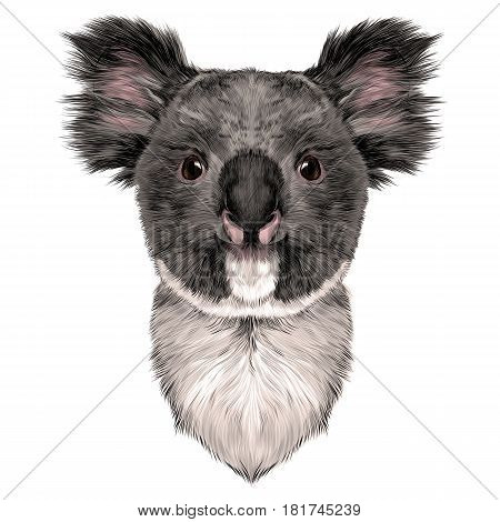 the head is symmetrical Koala looking right sketch vector graphics color picture