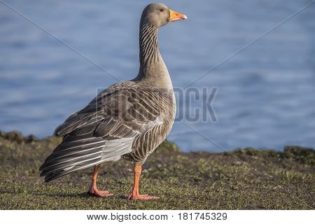 Greylag Goose Beside A Loch, Close Up