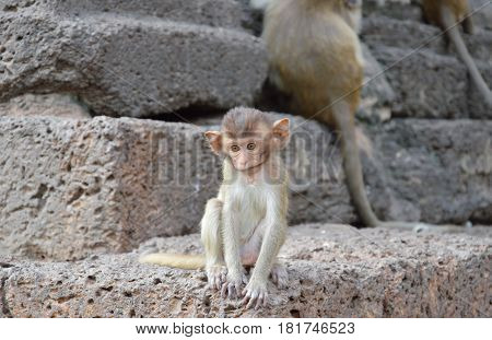 baby long tail macaque sitting on rock in ancient pagoda Thailand