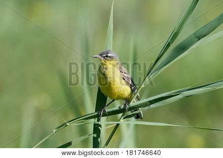 Western yellow wagtail resting on a branch with vegetation in the background