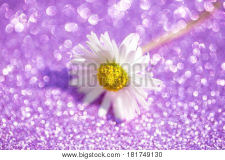 Daisy on lilac background abstracts, wallpaper, soft