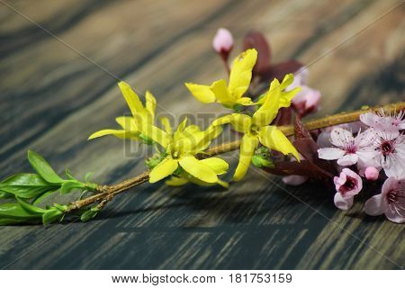 PRUNUS CERASIFERA,PISSARDII NIGRA,cherry plum,myrobalan plum and golden forsythia branches
